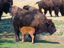 Mother  Calf. A calf of a Bison drinking milk from its mother Royalty Free Stock Photography