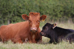 Mother and Calf Stock Image
