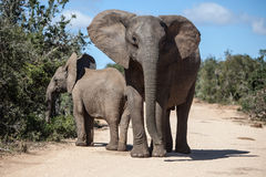 Mother and Calf African Elephants Royalty Free Stock Photography