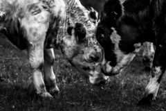 Mother and Calf Black And White Mother and Calf butting heads togerther royalty free stock photography