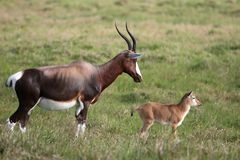 Mother and Calf Blesbok Antelope Royalty Free Stock Image