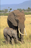 Mother and calf elephant standing on the plains in the Masai Mara Stock Photography