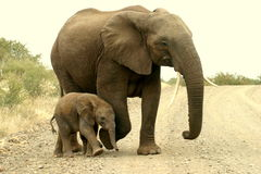 Mother and calf. The elephant and calf was found on n dirt road near Elephant Rest Camp in the Kruger Park Stock Photography