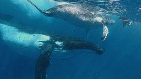 Mother and Calf Humpback whale meet freedivers in the ocean. Footage shot on a Gopro 7 black stock video footage