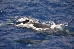 Mother and calf humpback whales in Maui waters. This mother and calf pair of humpbacks appeared alongside the bow of a cruise ship - perhaps joyriding in the royalty free stock image
