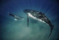 Mother and Calf Humpbacks. Mother and calf humpback whales in shallow water in Vavau Tonga Stock Photos