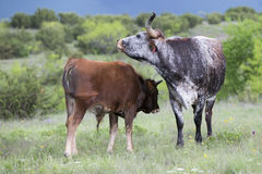 Mother and calf longhorn Royalty Free Stock Photography