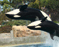 A Mother and Calf Orca Backflip Royalty Free Stock Photo