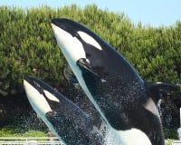 A Mother and Calf Orca Breach stock photo