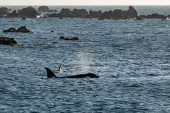 Mother and calf Orca Killer whales, Wellington, New Zealand stock photo