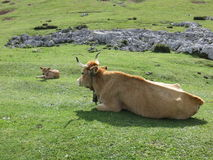 Mother and Calf in the  Picos de Europa, Asturias Spain Stock Images