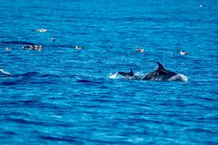 Mother and calf spotted dolphins Stock Photos