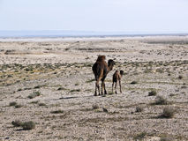 A mother camel with her baby in a desert,. A mother camel with her baby in a desert in Tunisia stock image