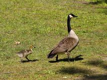 Mother Canada Goose and Gosling. This is a mother Canada goose, Branta canadensis, with her little baby gosling in Morgan County Alabama USA royalty free stock images
