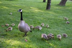 Mother Canada Goose and Goslings Royalty Free Stock Photography