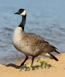 Mother Canada Goose with Goslings. Mother goose with baby chicks on a beach on Lake Tahoe stock image
