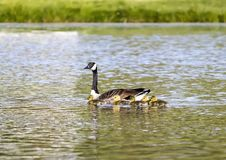 Mother Goose Swims With Goslings. A mother Canada goose leads the way in a pond with her fuzzy yellow goslings stock image