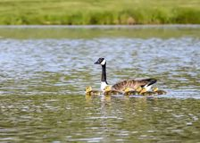 Mother Goose Swims With Goslings. A mother Canada goose leads the way in a pond with her fuzzy yellow goslings stock photo