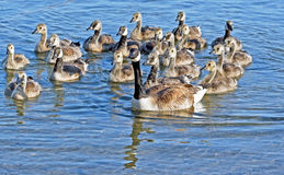 Mother Canada Goose. Swimming on beautiful blue waters with her 19 Goslings following closely behind royalty free stock photography