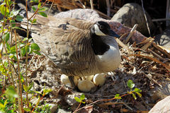 A mother Canadian Goose standing over her next os eggs Stock Photo