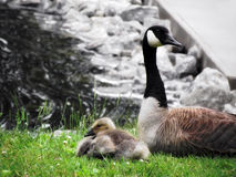 Mother Canadian Goose. A mother Canadian Goose stays close to one of her spring goslings near the waterways royalty free stock images