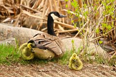 A mother Canadian Goose watching her newly hatched goslings.  stock photos