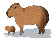 Capybara mama with her little baby in the water. A mother Capybara standing in shallow water with her little baby Royalty Free Stock Images