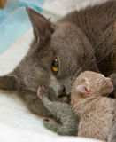 Mother-Cat Stock Photography