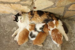 Free Mother Cat And Her Kittens Resting Together Royalty Free Stock Photos - 50377488