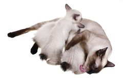 Mother cat with babies Stock Photo