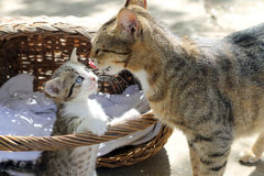 Mother cat and baby cat Stock Image