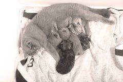 Mother cat breastfeeding her babies Stock Image