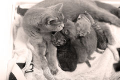 Mother cat breastfeeding her babies Royalty Free Stock Images