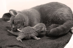 Mother cat breastfeeding her babies Royalty Free Stock Photo