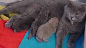 Mother cat breastfeeding her babies. British shorthair cat feeding her kittens, newly born stock footage