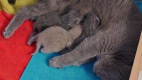 Mother cat breastfeeding her babies stock video footage