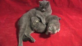 Mother cat breastfeeding her babies stock video