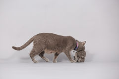 Mother cat carrying her baby Stock Photography