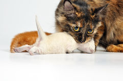 Mother cat carrying newborn kitten Royalty Free Stock Photos