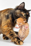 Mother cat carrying newborn kitten Stock Photos