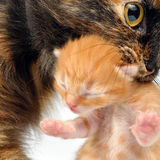 Mother cat carrying newborn kitten. Mother cat with newborn kitten in her mouth. Studio shot Royalty Free Stock Image