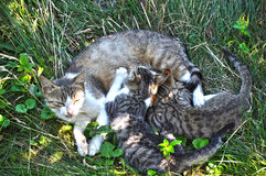 Mother Cat And Cubs. Mother Cat Breastfeed Two Little Cubs Royalty Free Stock Photography