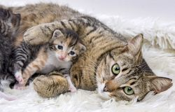 Mother cat and cute baby kitten cat royalty free stock image