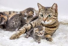 Mother cat and cute baby kitten cat. In house stock photo