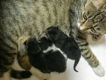 Mother cat fed the three kittens. They are three little kittens born on the third day of life.The cat mother looks after the baby Royalty Free Stock Images