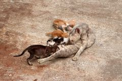 The mother cat is feeding all 4 kittens on the concrete floor royalty free stock photography