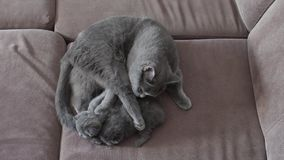 Mother cat feeding cute baby kittens on the couch stock video footage