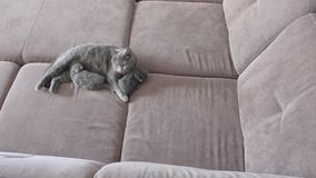 Mother cat feeding cute baby kittens on the couch stock video