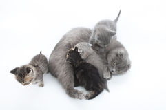 Mother cat feeding her four kittens Stock Images