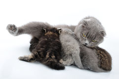 Mother cat feeding her kittens Royalty Free Stock Photo
